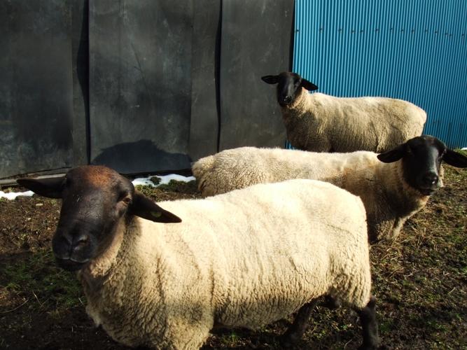 羊ふたたび_d0085096_12383856.jpg