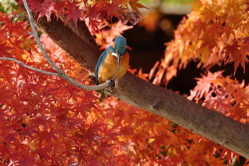 紅葉とカワセミ_f0053272_1410077.jpg