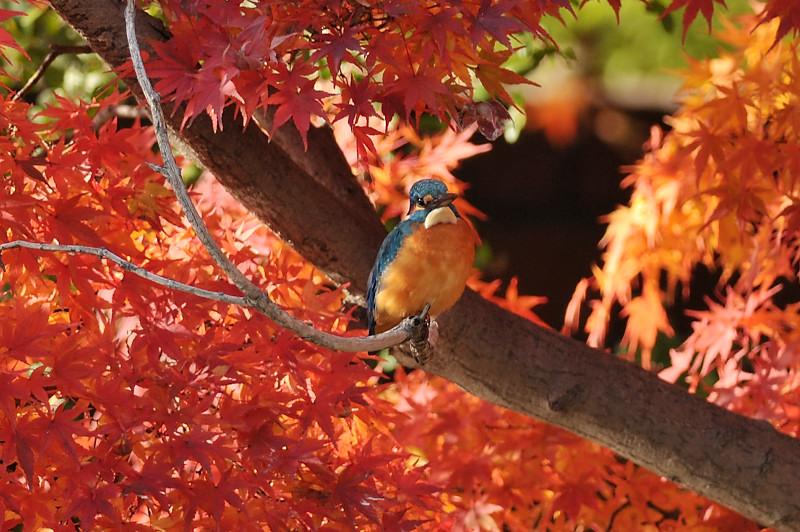 紅葉とカワセミ_f0053272_14104258.jpg