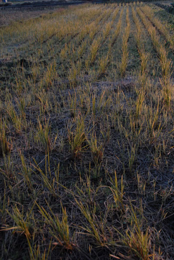収穫後の田んぼ_c0093046_6572545.jpg
