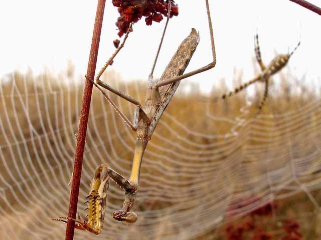 ★カマキリ VS 蜘蛛~どちらが勝ったか?見てみよう!(゚゚;)_a0028694_8111685.jpg