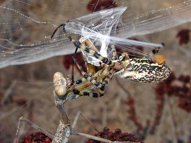 ★カマキリ VS 蜘蛛~どちらが勝ったか?見てみよう!(゚゚;)_a0028694_8123562.jpg