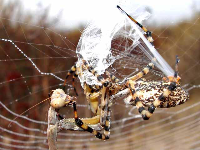 ★カマキリ VS 蜘蛛~どちらが勝ったか?見てみよう!(゚゚;)_a0028694_8141780.jpg
