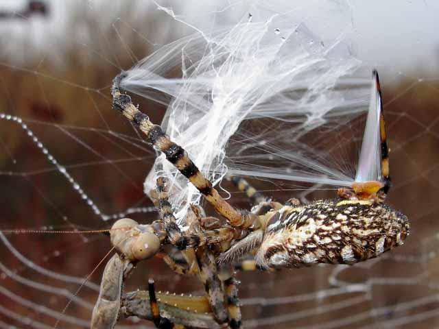 ★カマキリ VS 蜘蛛~どちらが勝ったか?見てみよう!(゚゚;)_a0028694_8144339.jpg