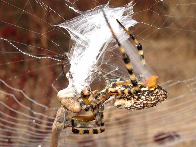 ★カマキリ VS 蜘蛛~どちらが勝ったか?見てみよう!(゚゚;)_a0028694_8152097.jpg
