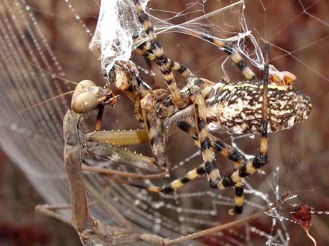 ★カマキリ VS 蜘蛛~どちらが勝ったか?見てみよう!(゚゚;)_a0028694_816685.jpg