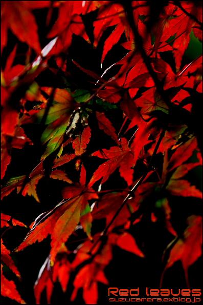 Red leaves_f0100215_2311544.jpg