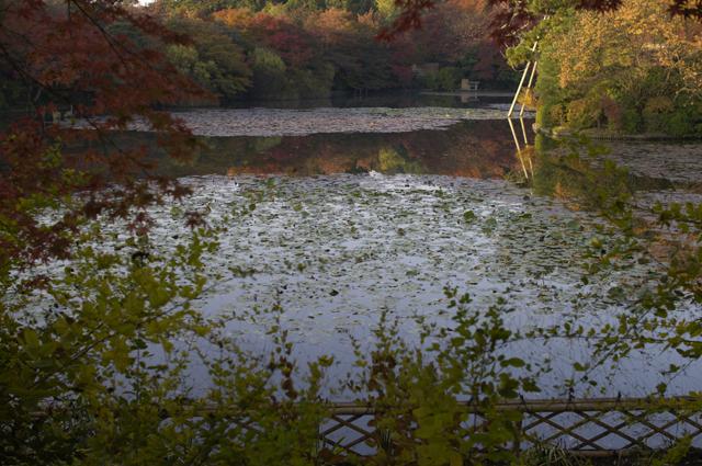 京都の金閣寺近くのお寺龍安寺手前の池周辺が紅葉ピークでした。他はまだ青々としていて、全体で四割ぐらいの紅葉です。先週の土曜日の写真なので今週は見頃かもしれませんね。水面にも紅葉が写っています。朝日に照らされた紅葉は写真よりも綺麗でした!