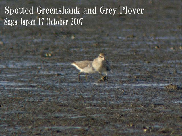 カラフトアオアシシギ Spotted Greenshank(Nordmann\'s Greenshank)/ Tringa guttifer_c0071489_0121819.jpg