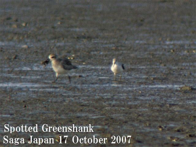 カラフトアオアシシギ Spotted Greenshank(Nordmann\'s Greenshank)/ Tringa guttifer_c0071489_0123186.jpg
