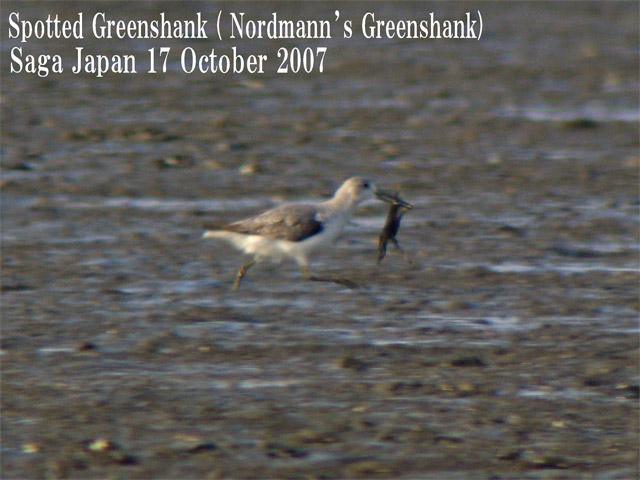 カラフトアオアシシギ Spotted Greenshank(Nordmann\'s Greenshank)/ Tringa guttifer_c0071489_012411.jpg