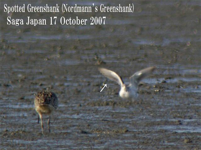カラフトアオアシシギ Spotted Greenshank(Nordmann\'s Greenshank)/ Tringa guttifer_c0071489_0124231.jpg