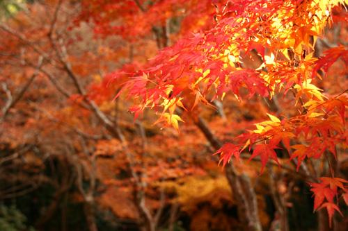 京都紅葉ウォーキング Ⅱ 圓光寺_d0055236_14444037.jpg