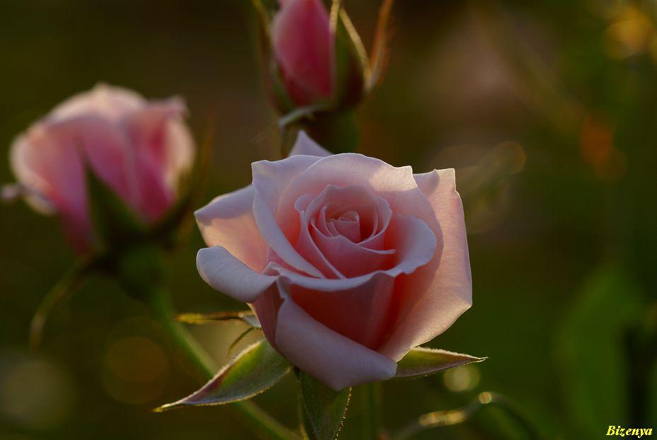 秋・冬?の薔薇たち_d0086248_74481.jpg