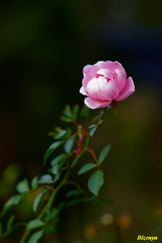 秋・冬?の薔薇たち_d0086248_82554.jpg