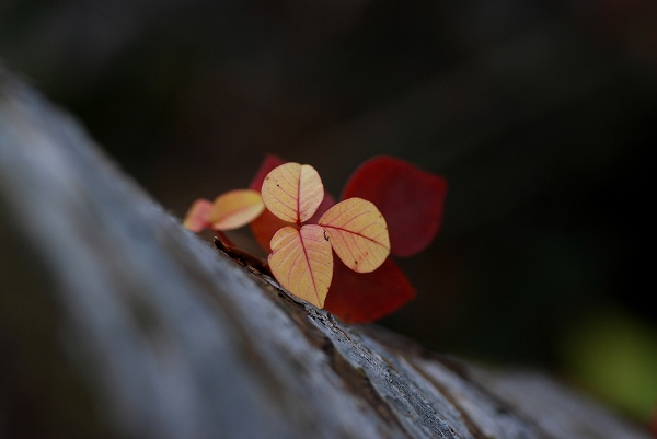 秋色いろいろ10 なかよしの葉っぱ_c0027027_23344837.jpg