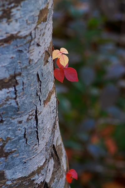 秋色いろいろ10 なかよしの葉っぱ_c0027027_23354124.jpg