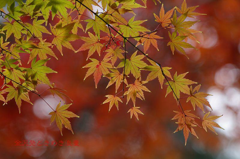 紅葉の兼六園 霞ヶ池周辺_d0043136_17551215.jpg