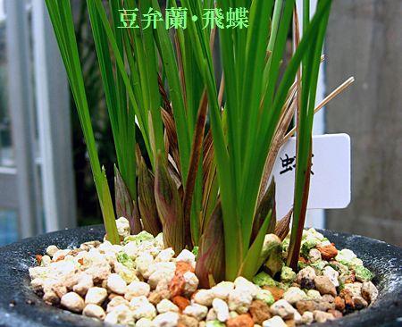 ◆中国奥地蘭・豆弁蘭「飛蝶」            No.175_d0103457_022649.jpg