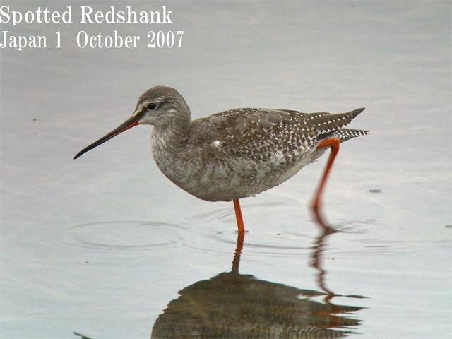 ツルシギ5  Spotted Redshank 5 / Tringa erythropus_c0071489_22115881.jpg