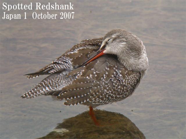 ツルシギ5  Spotted Redshank 5 / Tringa erythropus_c0071489_22121924.jpg