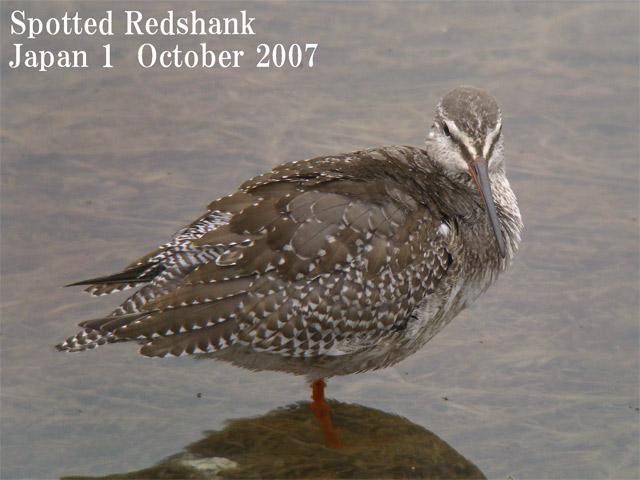 ツルシギ5  Spotted Redshank 5 / Tringa erythropus_c0071489_22123983.jpg