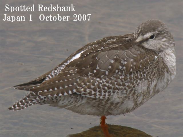 ツルシギ5  Spotted Redshank 5 / Tringa erythropus_c0071489_2231451.jpg