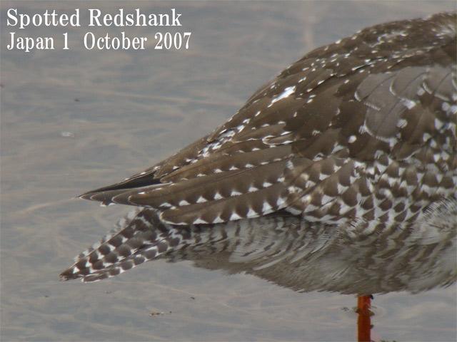 ツルシギ5  Spotted Redshank 5 / Tringa erythropus_c0071489_22315890.jpg