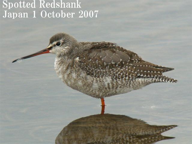 ツルシギ5  Spotted Redshank 5 / Tringa erythropus_c0071489_9252085.jpg