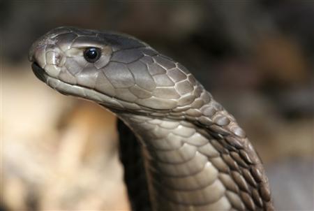 ★ケニアで2.7mの新種の「ドクハキコブラ」が発見される!!_a0028694_2125556.jpg