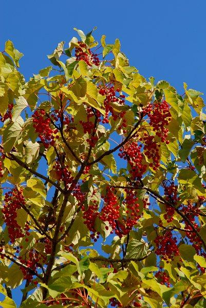 秋色いろいろ11 イイギリ_c0027027_2421595.jpg