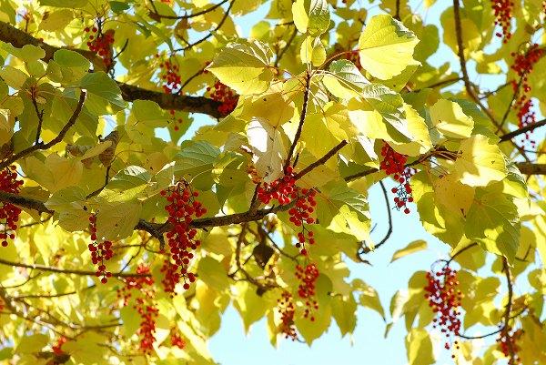 秋色いろいろ11 イイギリ_c0027027_2423198.jpg