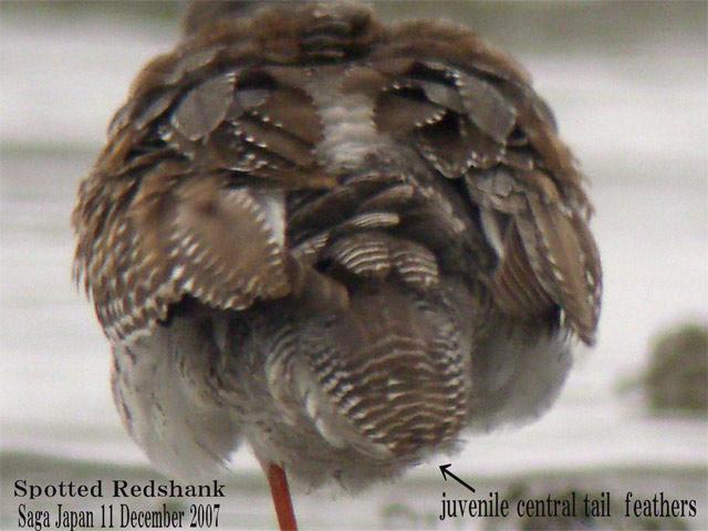 ツルシギ5  Spotted Redshank 5 / Tringa erythropus_c0071489_23161097.jpg