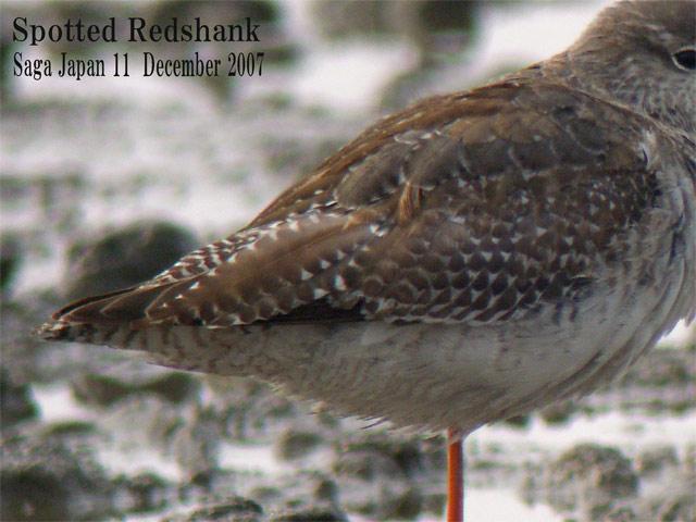 ツルシギ5  Spotted Redshank 5 / Tringa erythropus_c0071489_2333061.jpg