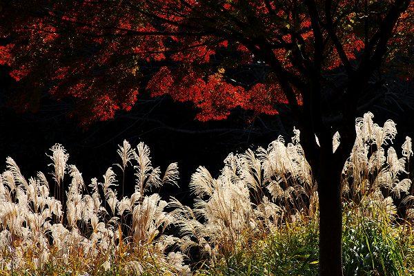 秋色いろいろ12 ススキと紅葉 _c0027027_1123127.jpg