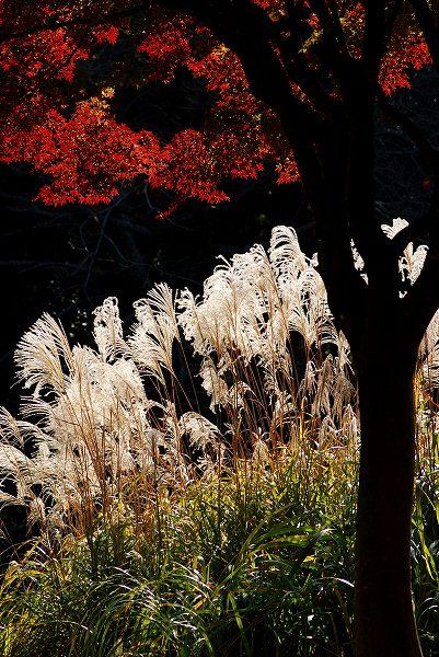 秋色いろいろ12 ススキと紅葉 _c0027027_113011.jpg