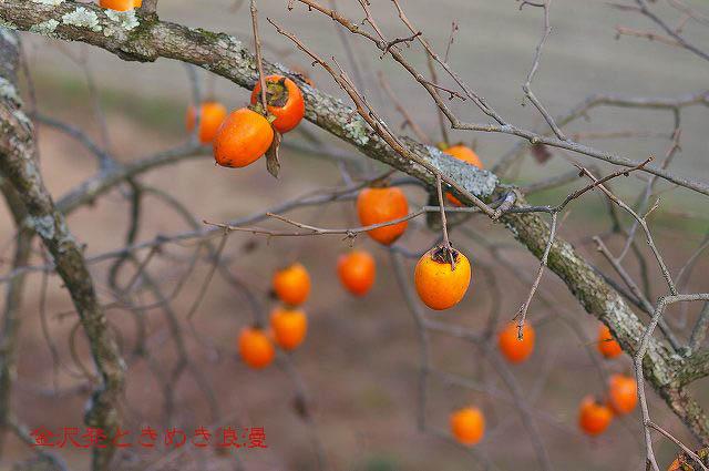 柿の木と秋の空_d0043136_22171288.jpg