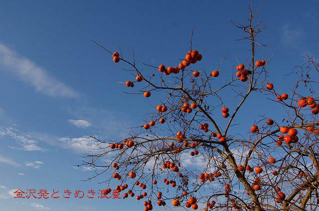 柿の木と秋の空_d0043136_22255710.jpg