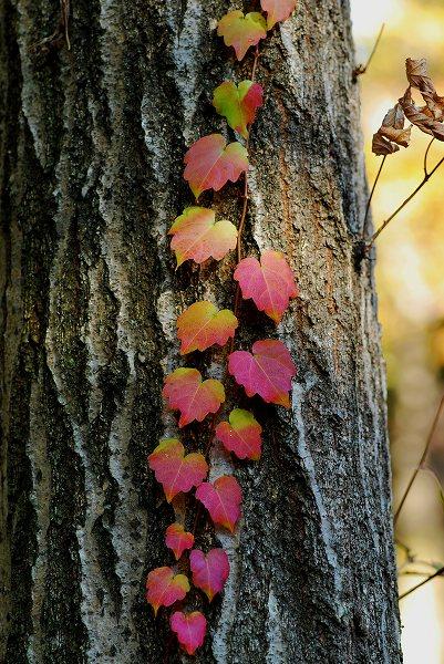 秋色いろいろ14 蔦2_c0027027_1111934.jpg
