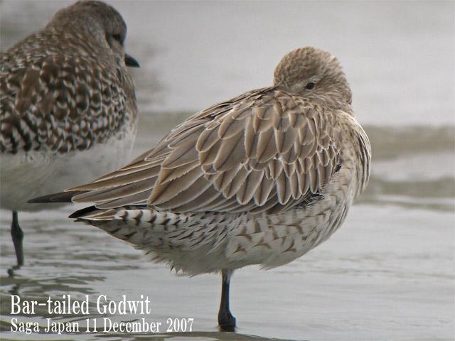 オオソリハシシギ 6 Bar-tailed Godwit / Limosa lapponica_c0071489_23454723.jpg