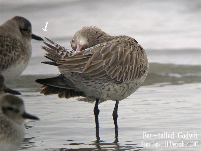 オオソリハシシギ 6 Bar-tailed Godwit / Limosa lapponica_c0071489_2346219.jpg