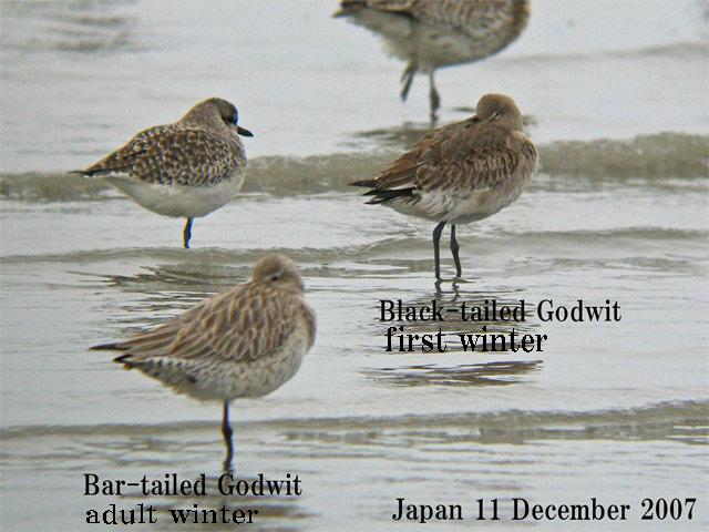 オオソリハシシギ 6 Bar-tailed Godwit / Limosa lapponica_c0071489_23575411.jpg