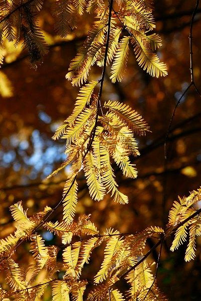 秋色いろいろ15 メタセコイア_c0027027_0173728.jpg