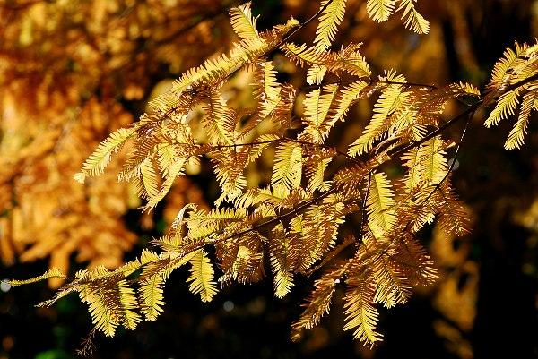 秋色いろいろ15 メタセコイア_c0027027_0182710.jpg