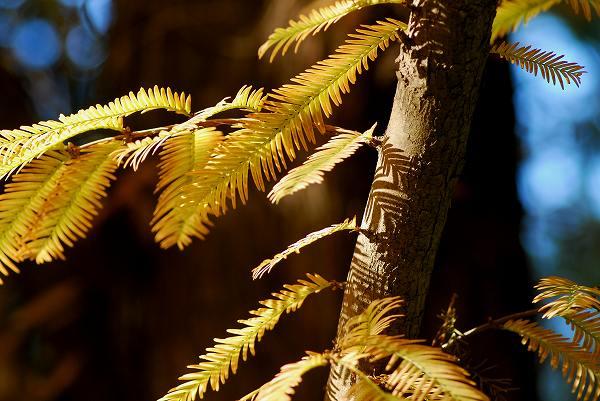 秋色いろいろ15 メタセコイア_c0027027_0184723.jpg