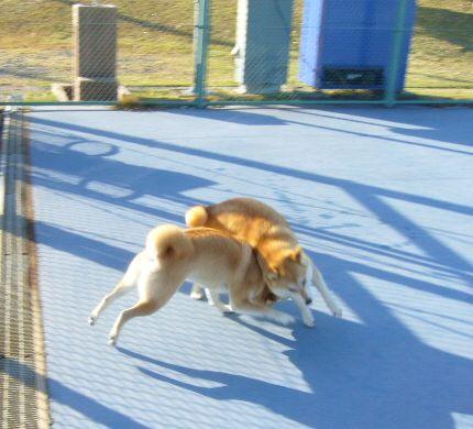 2007年12月16日(日)柴・柴・柴・柴犬の日!_f0060461_20244914.jpg