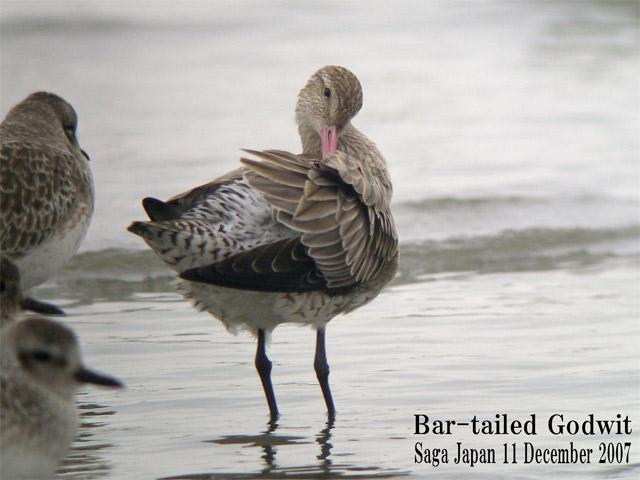 オオソリハシシギ 6 Bar-tailed Godwit / Limosa lapponica_c0071489_102661.jpg