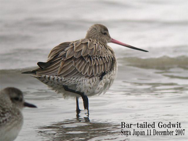 オオソリハシシギ 6 Bar-tailed Godwit / Limosa lapponica_c0071489_103568.jpg