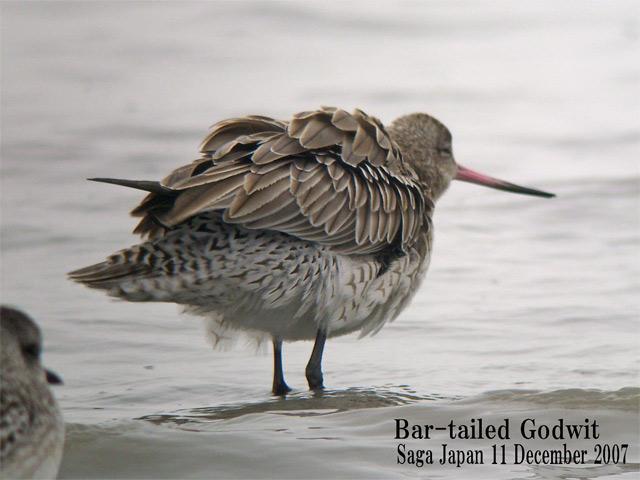 オオソリハシシギ 6 Bar-tailed Godwit / Limosa lapponica_c0071489_104726.jpg