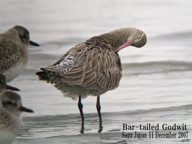 オオソリハシシギ 6 Bar-tailed Godwit / Limosa lapponica_c0071489_10796.jpg
